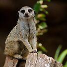 Mr Meerkat - Melbourne Zoo Series by dazzleng