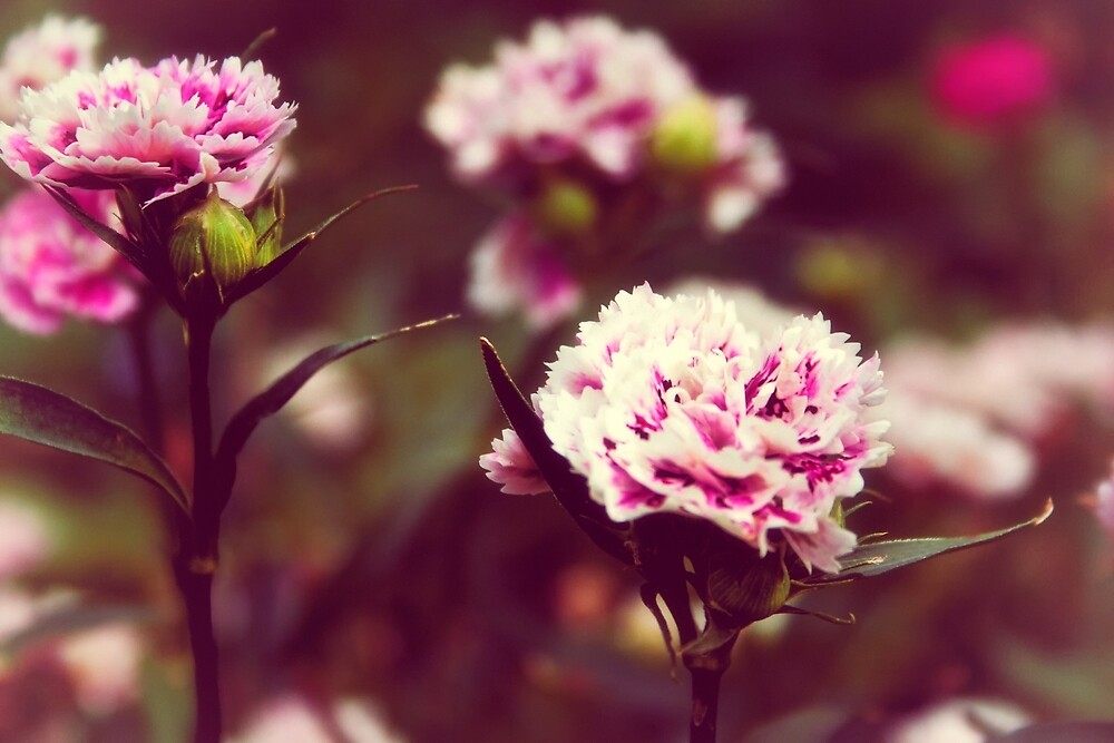 Pink carnations by Vicki Field