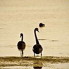 Black Swans by pennyswork