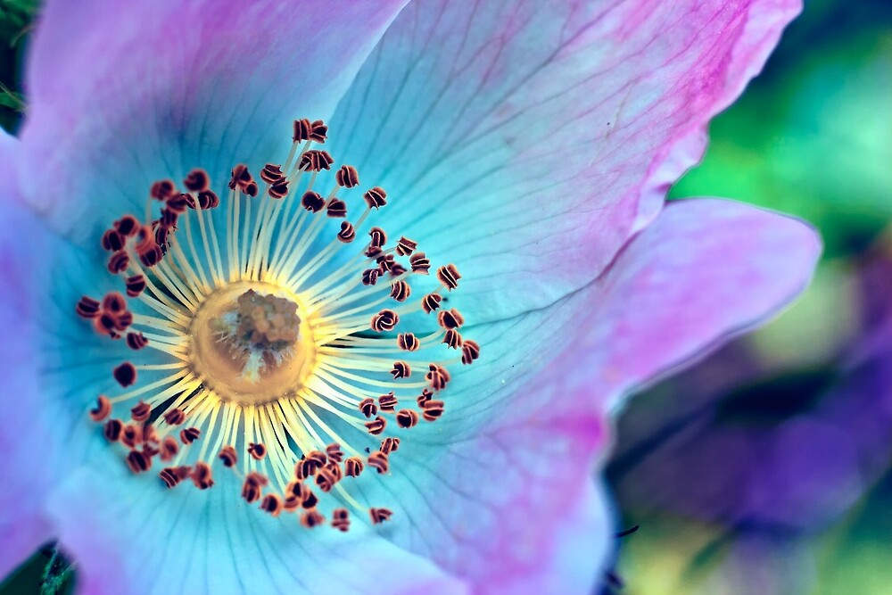 Colourful Wild Rose by Vicki Field