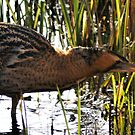 Outstretched Bittern by loz788