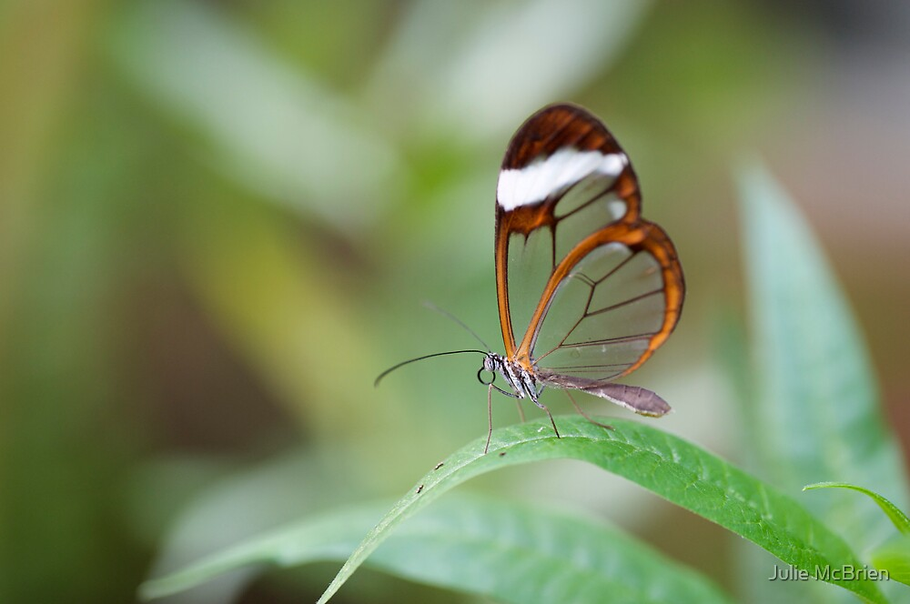 Glasswing Butterfly by Julie McBrien