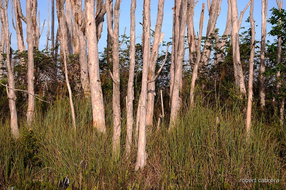Melaleuca Trees in Florida Everglades by robert cabrera