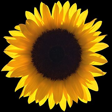 Large Single Yellow Sunflower Eclipse by worn