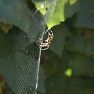 Basking in the sun; Spider in my garden this summer La Mirada, USA by leih2008
