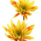 two chrysanthems  by OldaSimek