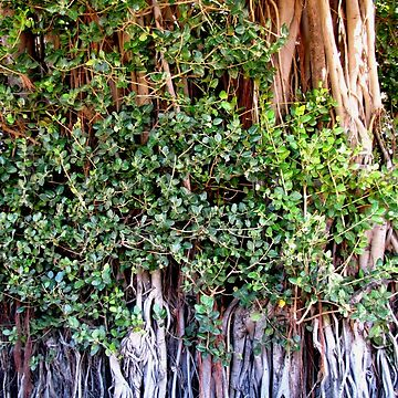 roots (Mauritius) by FedericoFaggion