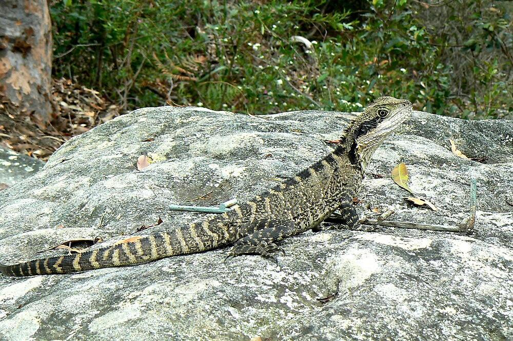 Lizard sunbaking on rock by DStewart1