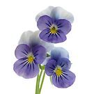 three pansies by OldaSimek