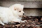 Finnish Lapphund Puppy by Helen Green