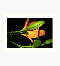 Oriental Lily opening  Art Print