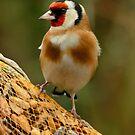 Goldfinch by Robert Abraham