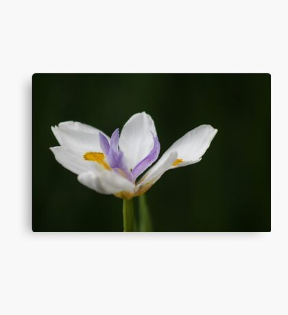 """A Fortnight in Taronga. (""""Fortnight Iris"""" for challenge) Canvas Print"""
