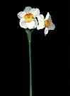 Narcissus by Barbara Wyeth