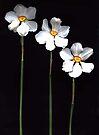 Narcissus Poeticus by Barbara Wyeth