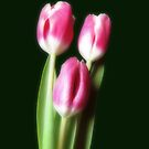 Three Beautiful Tulips by hurmerinta