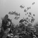 Fish flyby (B&W) by muzy