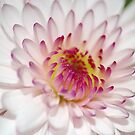 White Dahlia by CarmenLygia