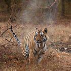 Wild Male Tiger by Sheila Smith