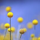 Australian Native Billy Buttons by Cloudlingpics
