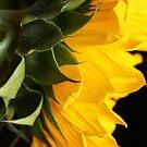 Sunflower by aquarius84