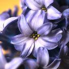 Hyacinth by Sue Frank