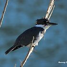 Male Belted Kingfisher by Bunny Clarke