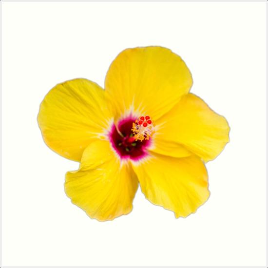 Yellow Hibiscus Art Print By Steveeveritt Redbubble