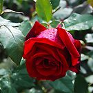 The Rose by inglesina