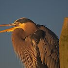 A Talking Great Blue Heron by TJ Baccari Photography