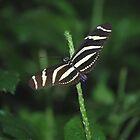 Zebra Longwing by deb cole