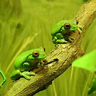 Red-eyed Tree Frog by kirstybush