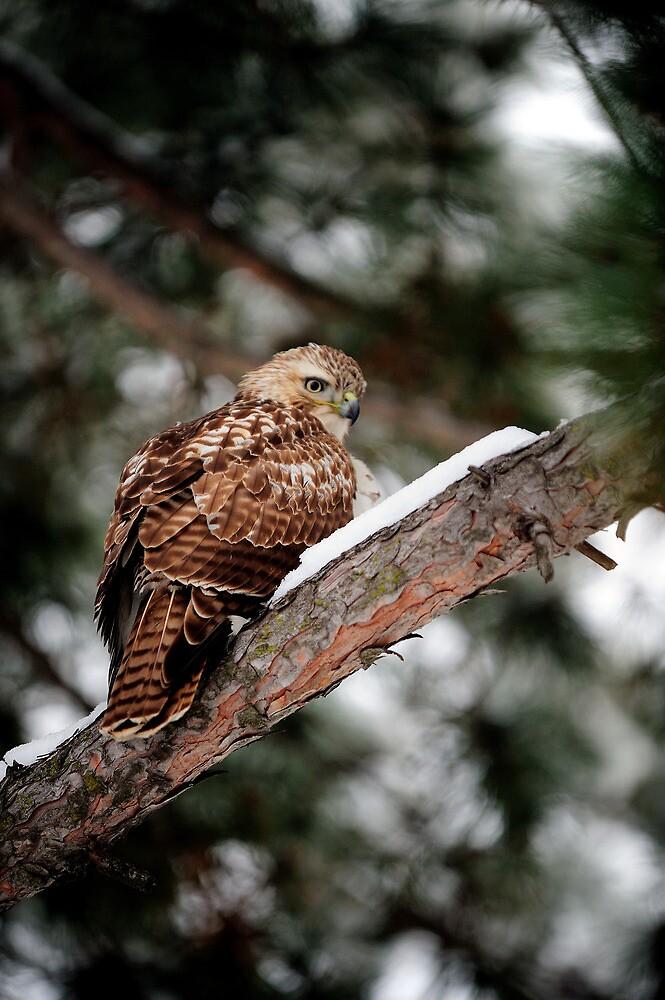 Prairie Falcon 3 by doctorphoto