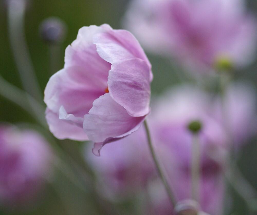 Japanese anemone by Yvonne Falk Ponsford