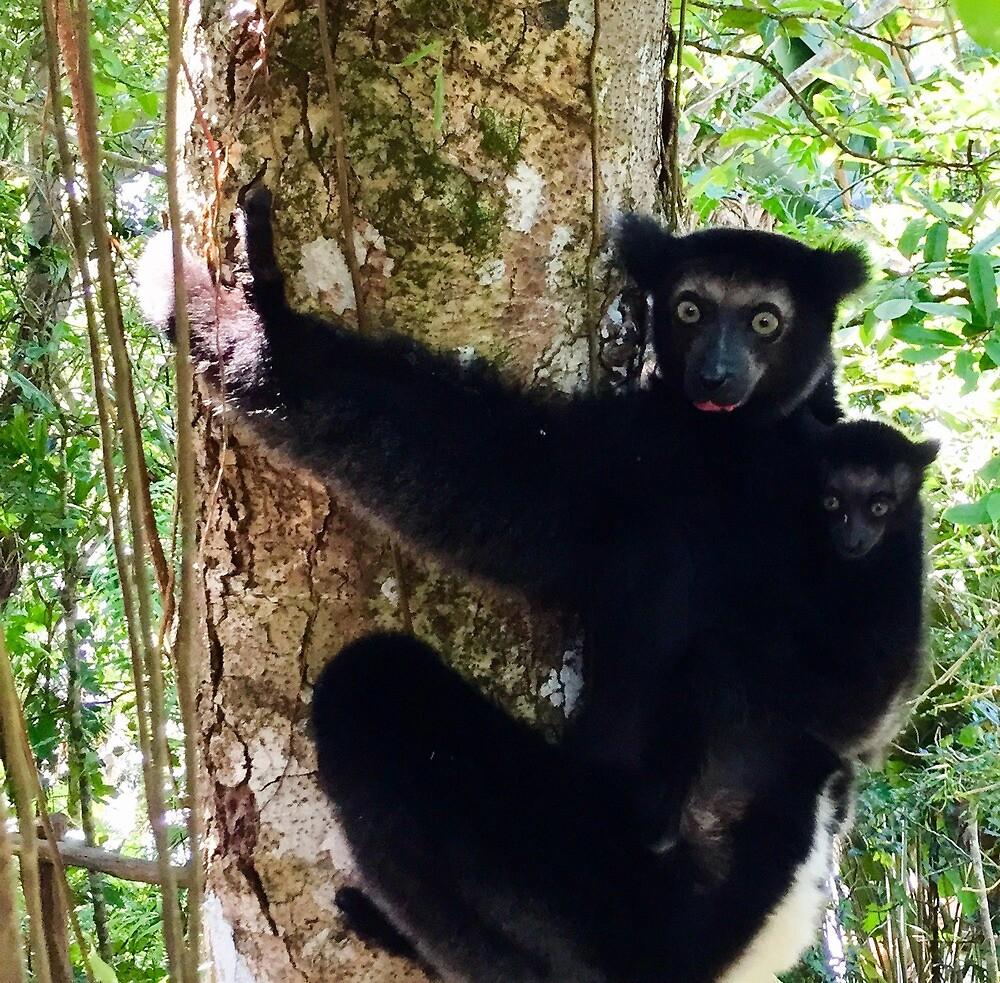 Indri Lemur Mama and Baby, Madagascar by EricaRobbin