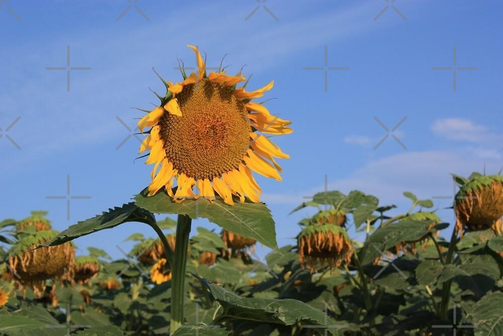 Colorful Kansas Sunflower in a field by ROBERTDBROZEK