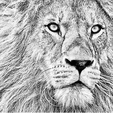 GRAY LION by ShyneR