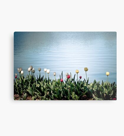 tulips by the water Metal Print