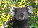 Koala on Otway (Can't you see I am busy?) by Kayleigh Walmsley