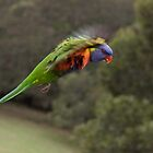 Rainbow Lorikeet in Flight by TonySlattery