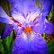 *Iris - Flag, challenge - Enchanted Flowers*