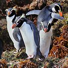 Snares Crested Penguins  by Carole-Anne