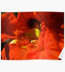 Nasturtium Flower Poster