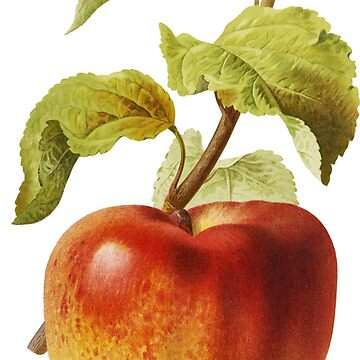 Antique Apple Vintage Illustration by junkydotcom