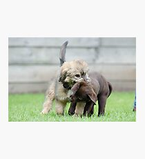 Puppies playing Photographic Print