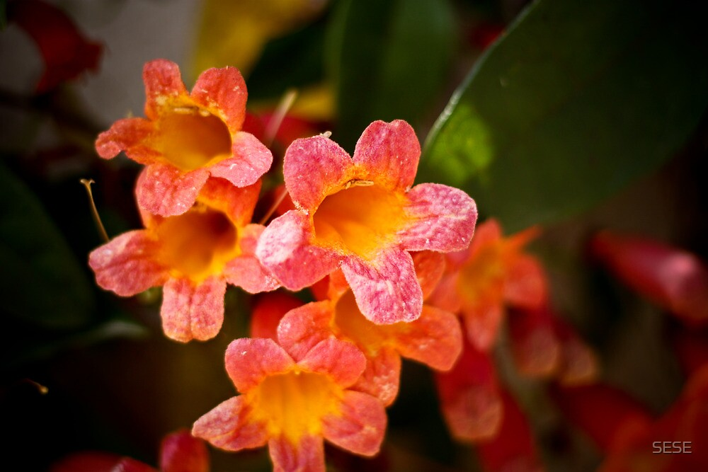 Coral Beauties by SESE