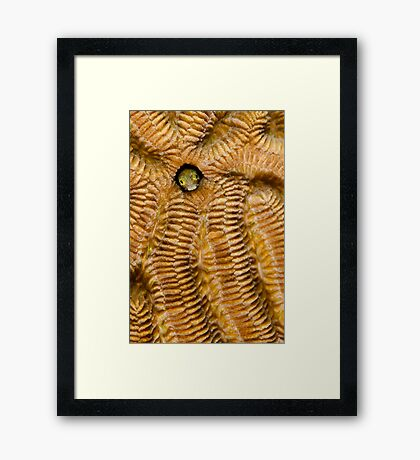 Secretary blenny on Brain Coral Framed Print