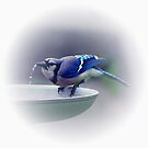 *BLUE JAY DRINKING WATER* by Van Coleman