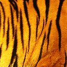 Sumantra Tiger Design by Franco De Luca Calce