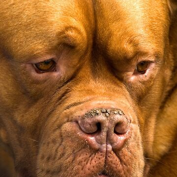 Dogue de Bordeaux by Kawka